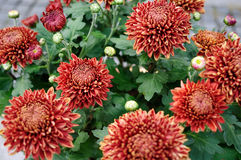 Crane red Chrysanthemum Stock Images