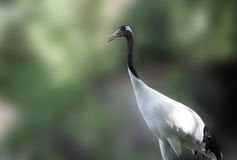 Crane. Red crowned crane close up Royalty Free Stock Photos