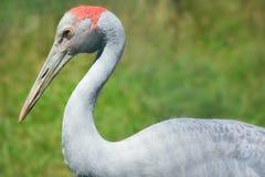 Crane with Red Head Stock Photos