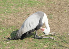Crane. Ruffling feathers while sitting and having rest Royalty Free Stock Photos