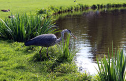 Crane rushing to the pond. France Stock Photos