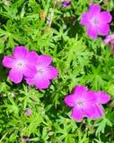 Crane's bill (Geranium). Purple Crane's bill flowers (Geranium stock image