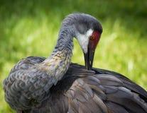 Crane. Sand Hill Crane grooming itself. Florida Stock Images