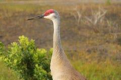 crane sandhill Obraz Royalty Free