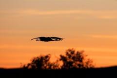 crane sandhill Zdjęcie Stock