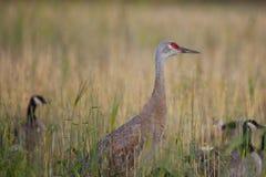 crane sandhill Obrazy Royalty Free