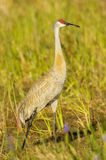 crane sandhill Fotografia Royalty Free