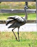 crane sandhill Fotografia Stock