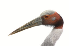 crane sarus biel tła Fotografia Royalty Free