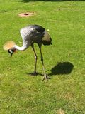 Crane searching. A beautiful  Crane searching for food in the grass Stock Photo