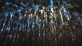Crane shoot of high pines in forest at beautiful day, timelapse.  stock footage