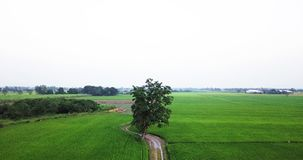 Crane shot from the ground to the air along footpath beside two paddy fields stock footage
