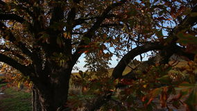 Crane shot of vineyards. Crane shot from tree to vineyard in the autumn stock footage