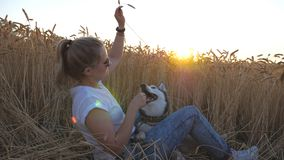Crane shot of young girl in sunglasses holding in hand golden spikelet and playing with siberian husky at wheat meadow. Happy woman with blonde hair sitting at stock video footage