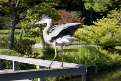 Crane showing off in garden Royalty Free Stock Photos