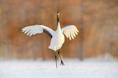 Crane in snowfall. Snowfall with Red-crowned crane on the meadow, Hokkaido, Japan. Bird feeding, winter scene with snowflakes. royalty free stock photos