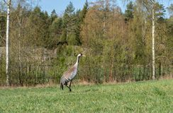 Crane in southern of Sweden royalty free stock images