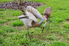 Crane stand in one foot and spread the wing Royalty Free Stock Photo