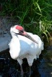 Crane Standing exótico en el borde de las aguas Imagen de archivo libre de regalías