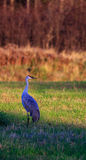 Crane Standing in a Field. Sandhill Crane standing in a field late in the day Royalty Free Stock Images