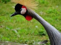 Crane Standing i zoo i bavaria Tyskland i augsburg royaltyfri foto