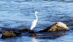 Crane standing on the rocks. A crane stands on the rocks while looking for fish Stock Photo