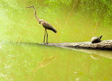 Crane and turtle with reflection Stock Images