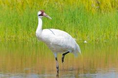 Crane Wading que chilla en pantano foto de archivo libre de regalías