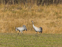 Crane. On a walk with your partner Royalty Free Stock Images