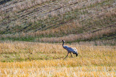 Crane walking on a field Stock Images