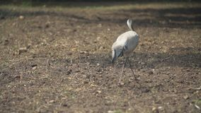 Crane walks in the park. Crane walks through the park looking for something stock video footage
