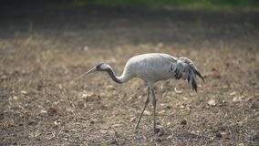 Crane walks in the park. Crane walks through the park looking for something stock footage