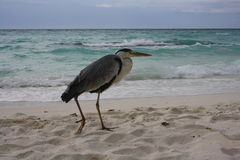 Crane walks by the sea Stock Image