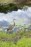 Crane by the waters edge. Royalty Free Stock Photo