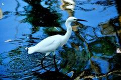 Crane. White colour crane walk in water Royalty Free Stock Image