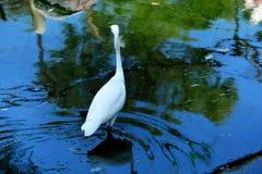 Crane. White colour crane walk in water Stock Image