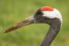 Crane, wild bird, Grus grus. Stock Photo