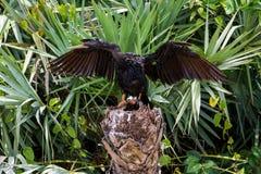 Crane Wings Spread Wet Bird royalty free stock image