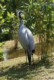Cranebird Стоковое Фото