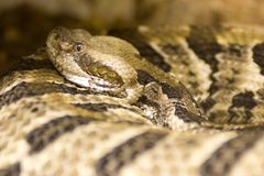 cranebrake响尾蛇horridus响尾蛇木材 免版税库存图片