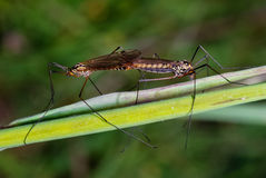 Craneflies coupled Royalty Free Stock Photography