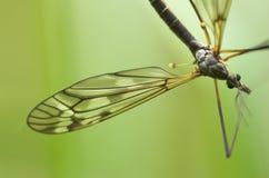 cranefly мужчина Стоковая Фотография RF