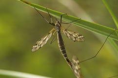 cranefly сопрягать женщины Стоковые Фотографии RF