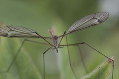 Cranefly close up. And portrait of head stock photo