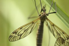Cranefly (female). A mosquito-like insect - cranefly. Focus is on the wing and the back of the insect Stock Images