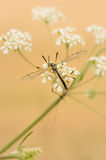 Cranefly (Lipsothrix nigristigma). Sitting on some white flowers. Also known as the Daddy Longlegs in some countries Royalty Free Stock Image