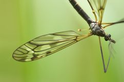 Cranefly (male). A mosquito-like insect - cranefly. Focus is on the wing and the eyes Royalty Free Stock Photography