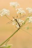 Cranefly (nigristigma di Lipsothrix) Immagine Stock Libera da Diritti