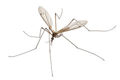 Cranefly species Tipula oleracea Stock Images