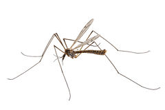 Cranefly species Tipula oleracea Royalty Free Stock Images
